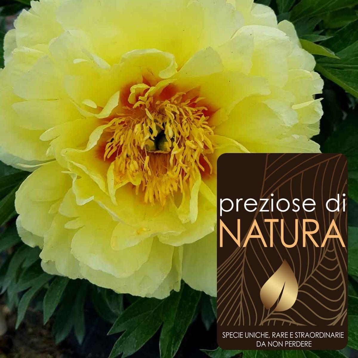 """Preziose di Natura – Paeonia """"Bartzella"""" (ibrida ITOH)"""
