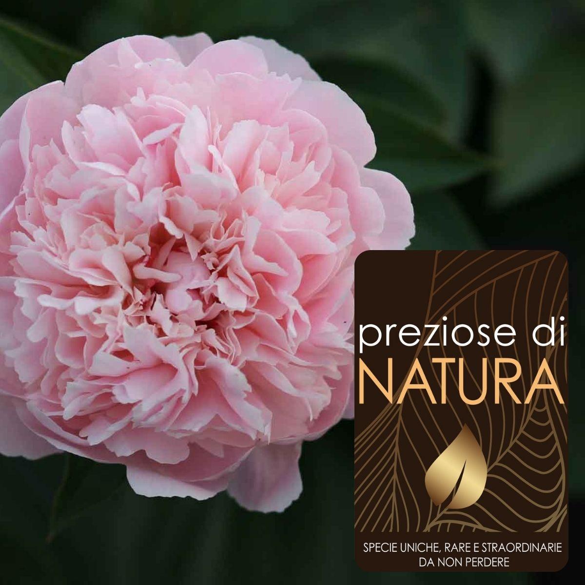 """Preziose di Natura – Paeonia lactiflora """"Alertie"""""""