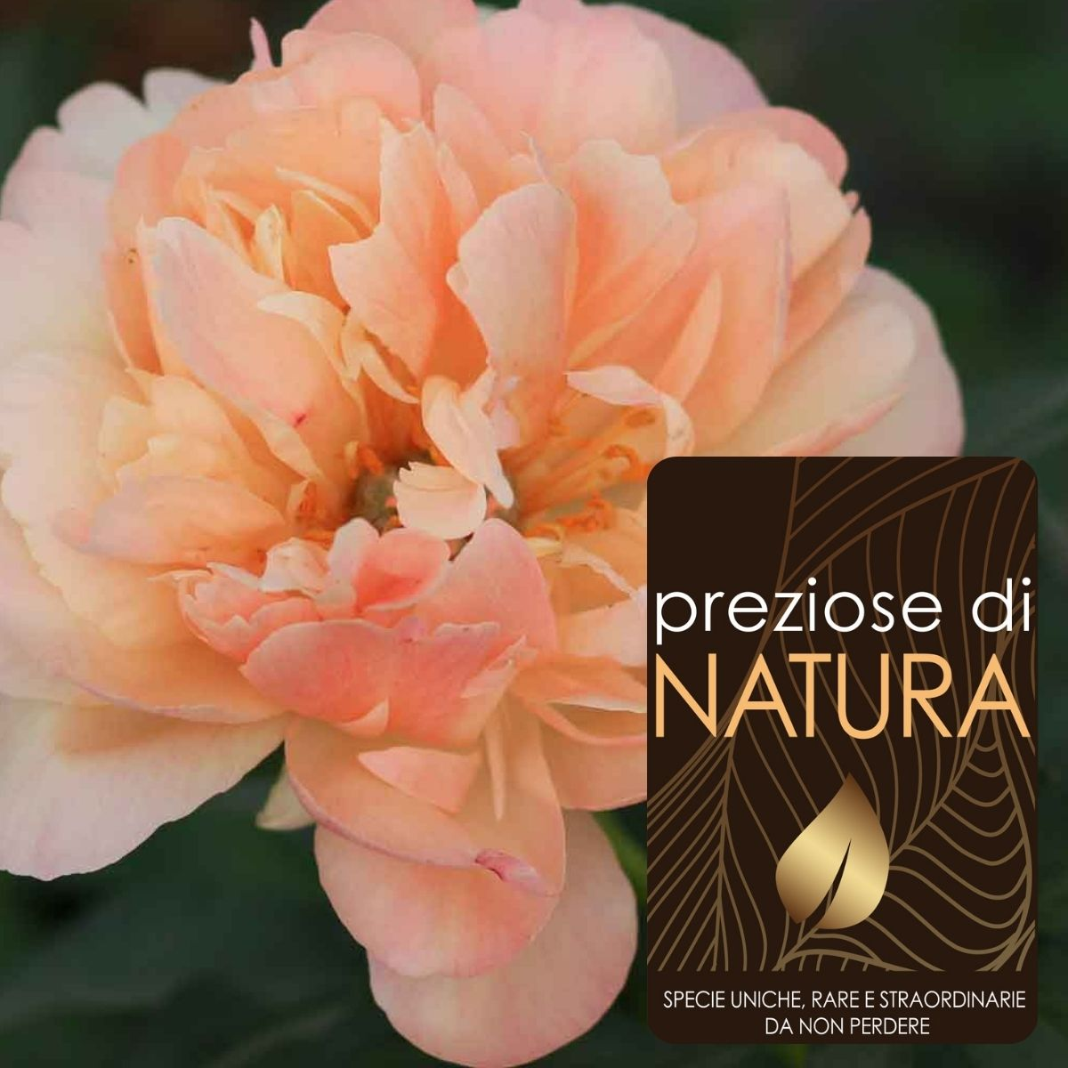 """Preziose di Natura – Paeonia lactiflora """"Coral Sunset"""""""