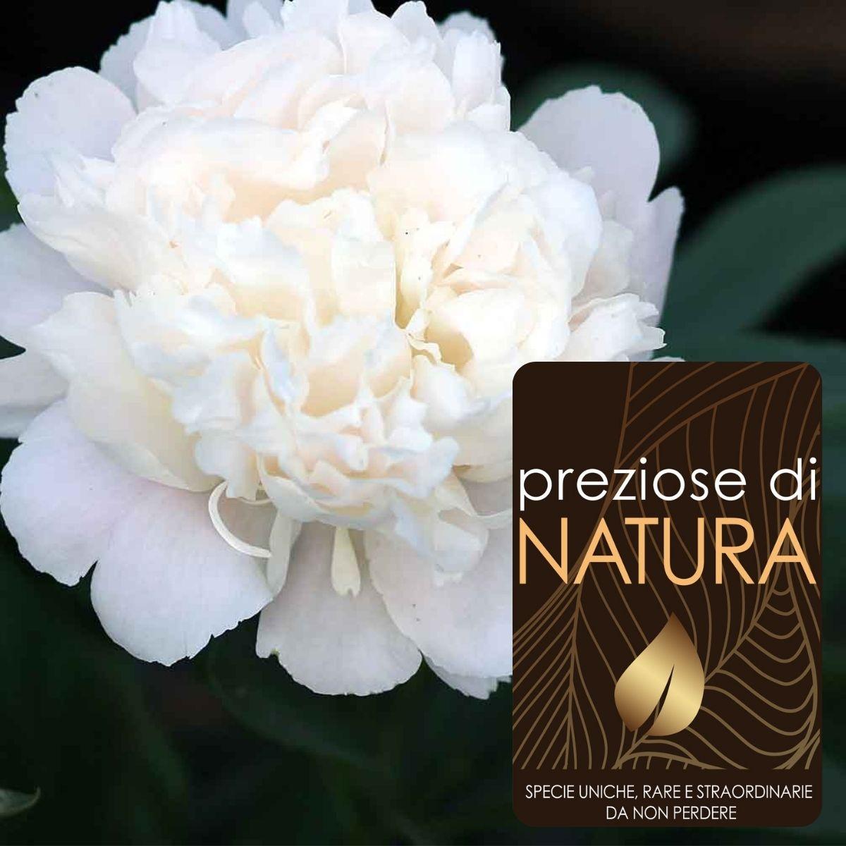 """Preziose di Natura – Paeonia lactiflora """"Duchesse de Nemours"""""""