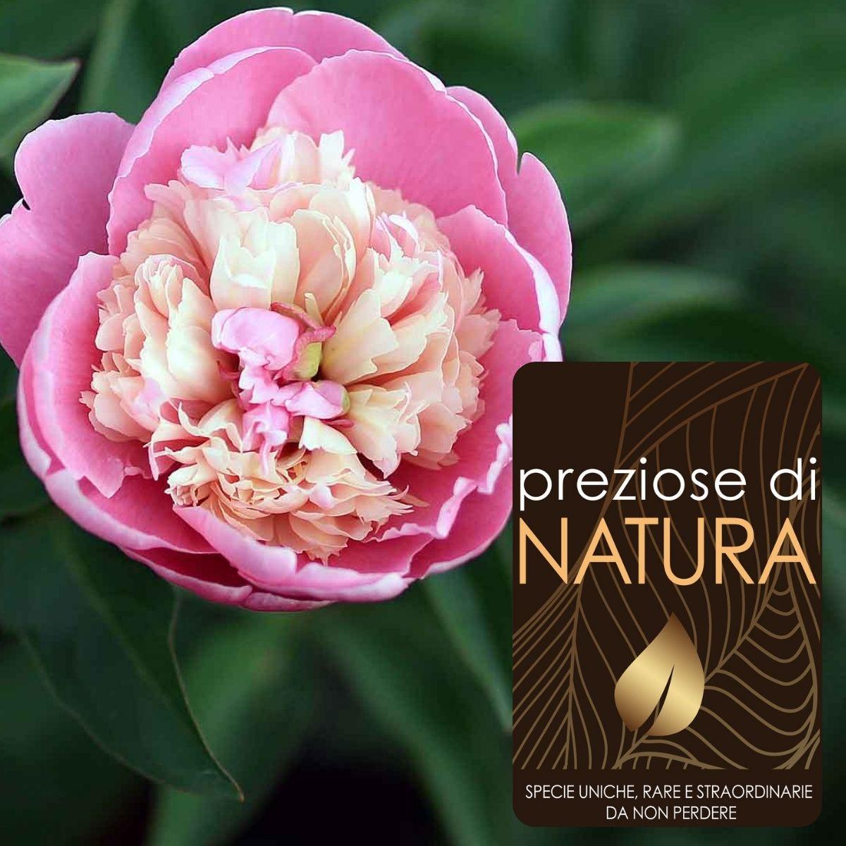 """Preziose di Natura – Paeonia lactiflora """"Sorbet"""""""