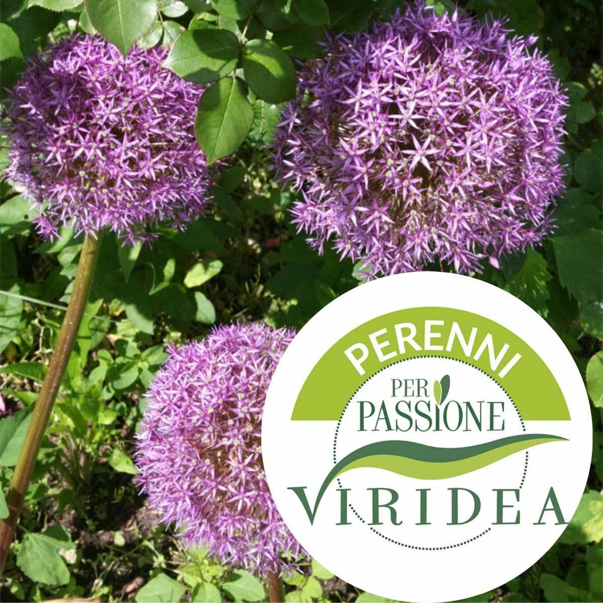 Linea Perenni per Passione – Allium in varietà