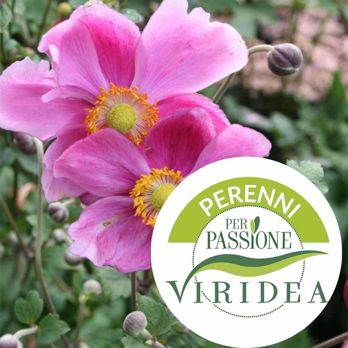 Linea Perenni per Passione – Anemone in varietà