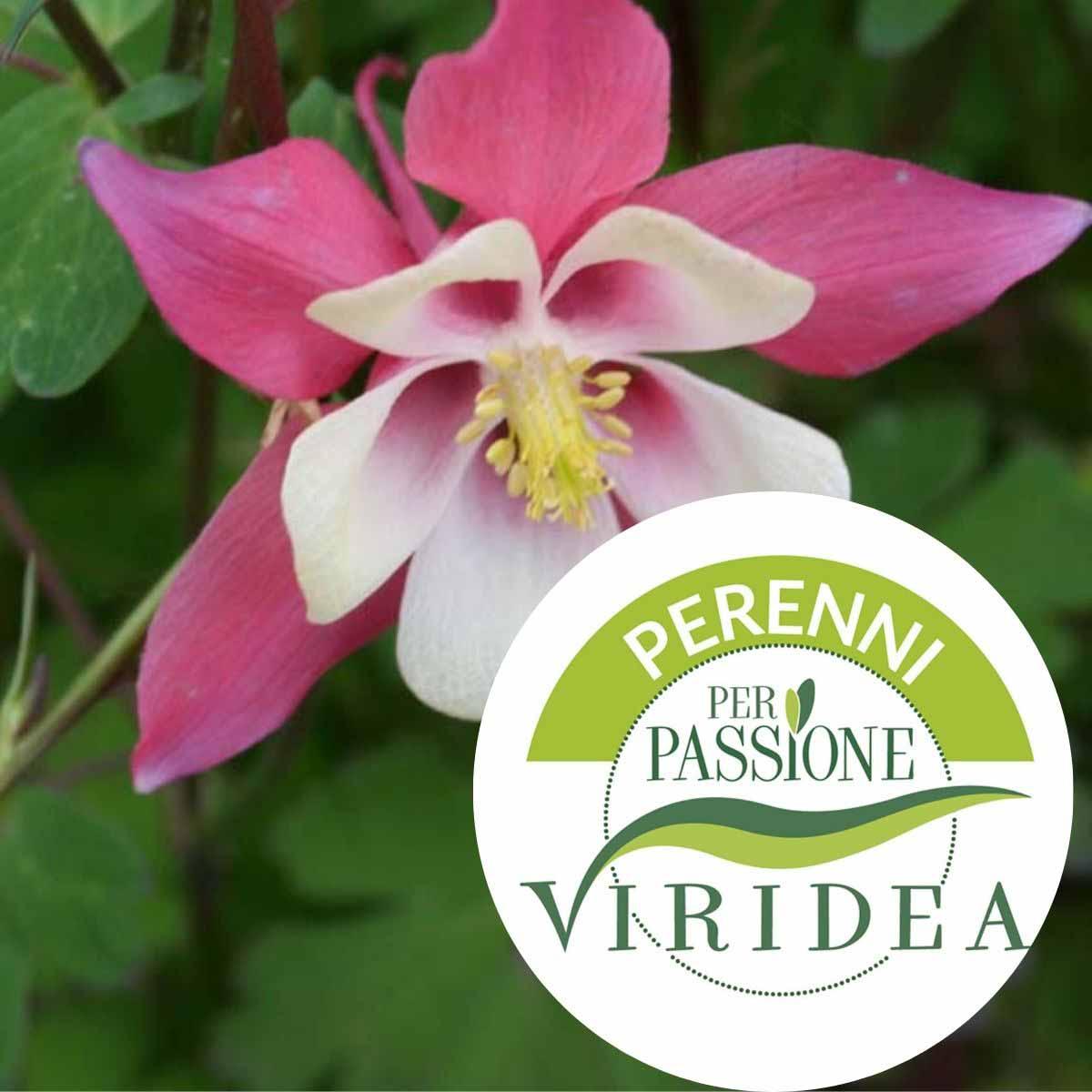 Linea Perenni per Passione – Aquilegia in varietà