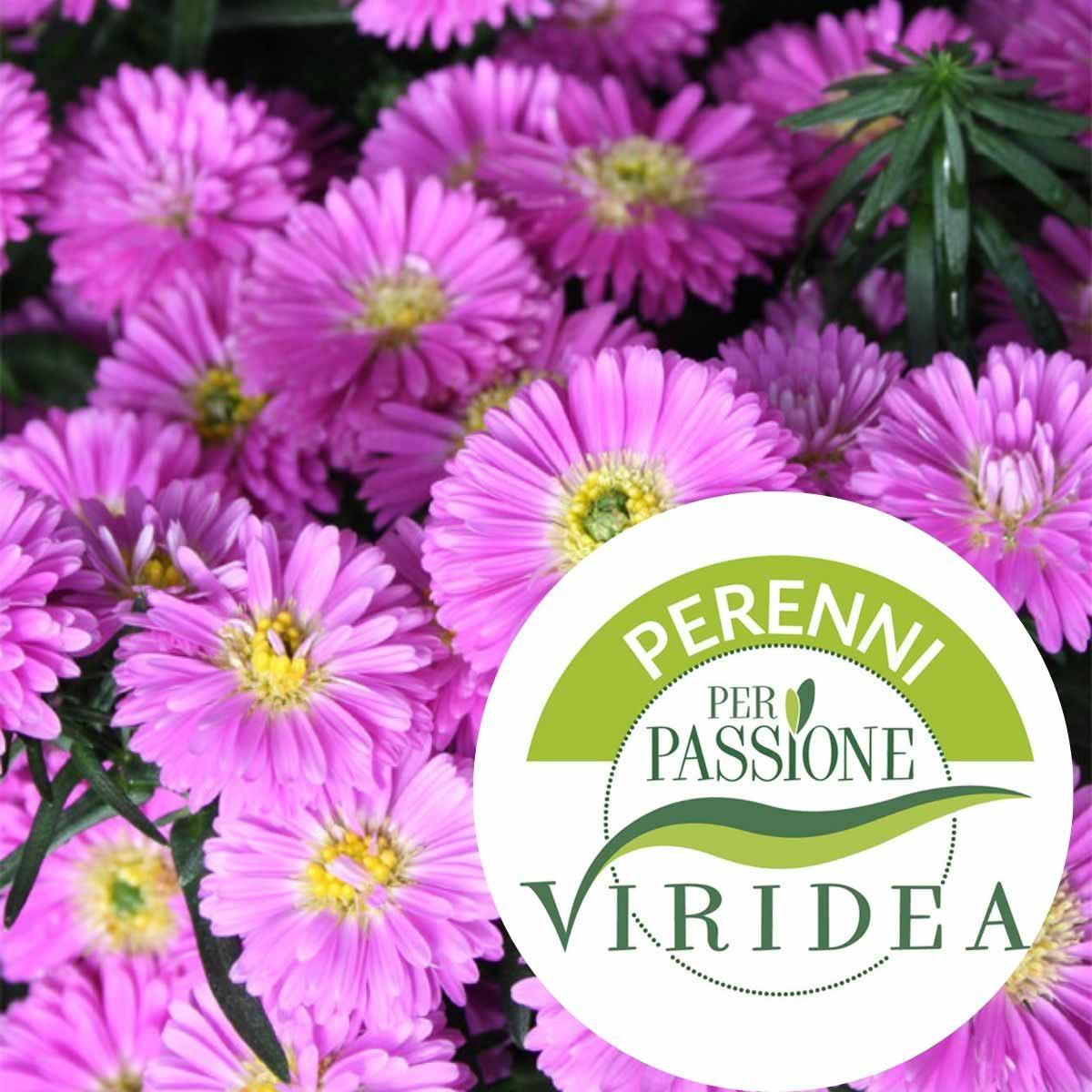 Linea Perenni per Passione – Aster in varietà
