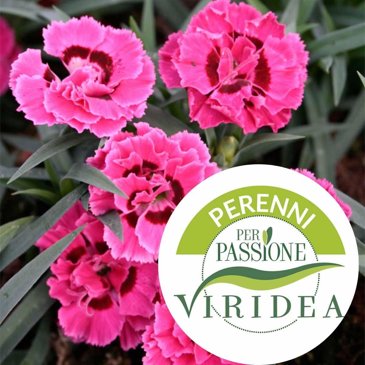 Linea Perenni per Passione – Dianthus in varietà