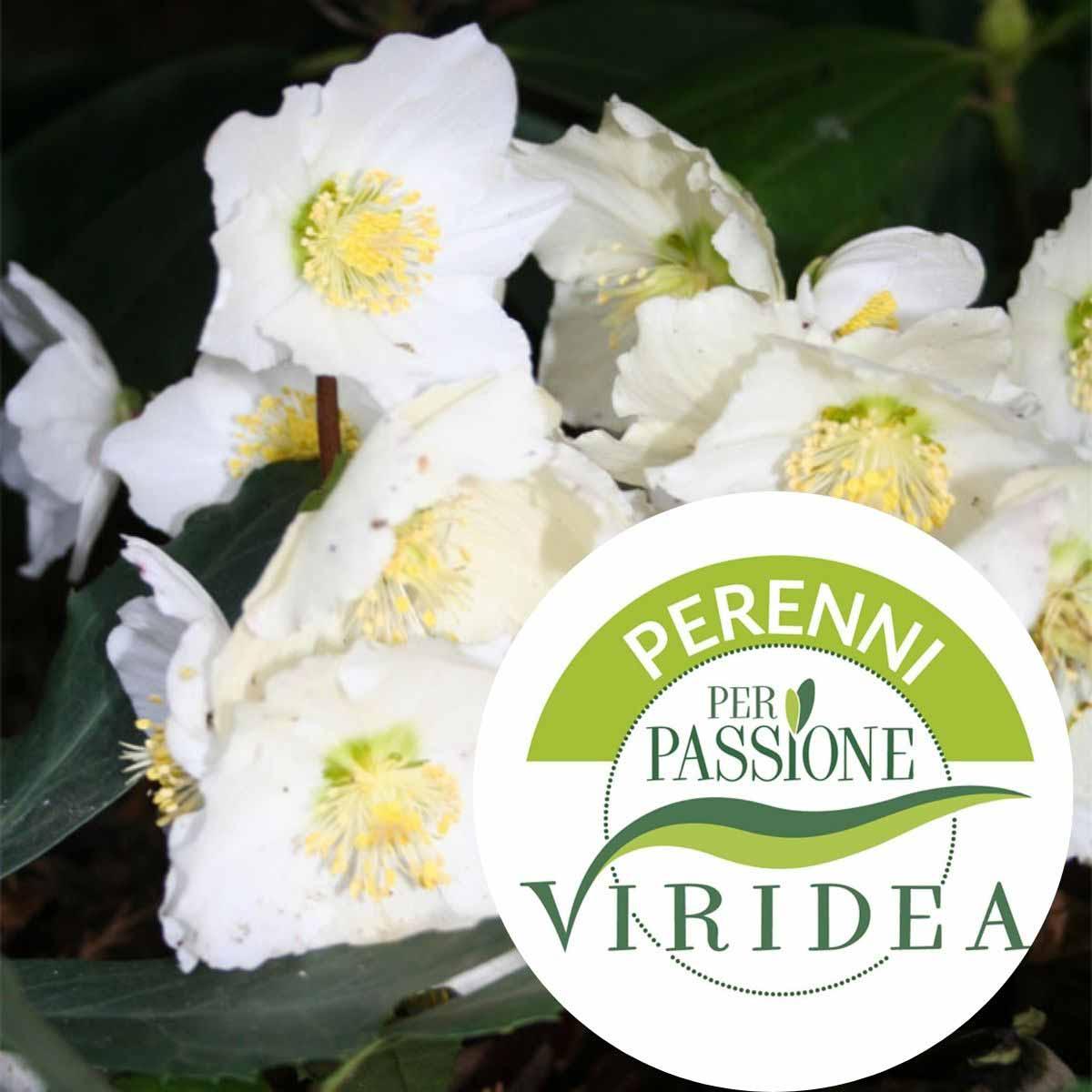 Linea Perenni per Passione – Elleboro