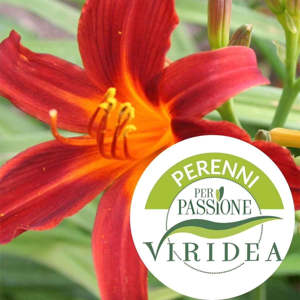 Linea Perenni per Passione – Hemerocallis in varietà