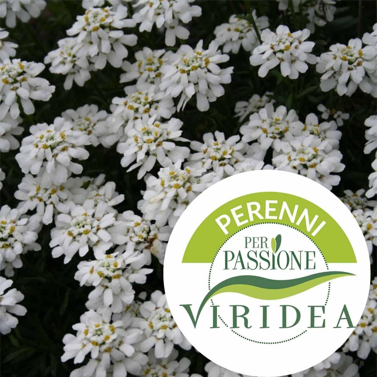 Linea Perenni per Passione – Iberis in varietà