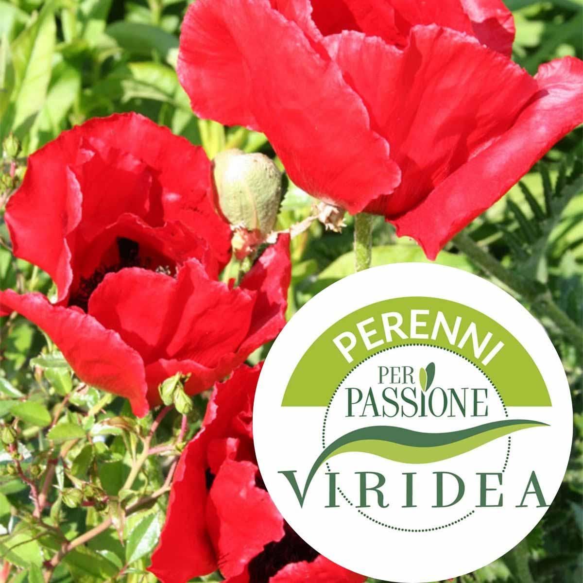 Linea Perenni per Passione – Papavero in varietà