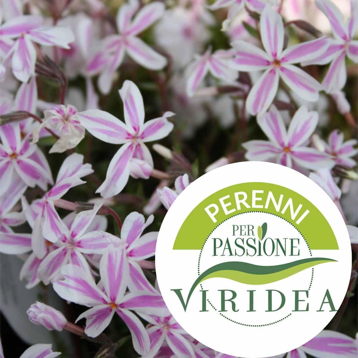 Linea Perenni per Passione – Phlox in varietà
