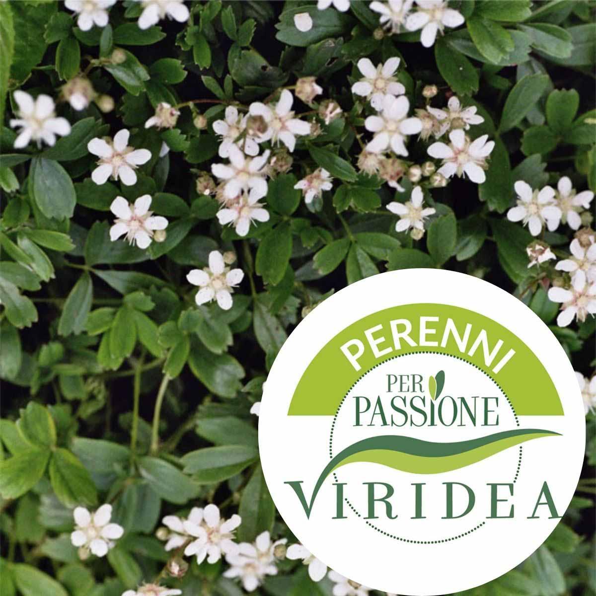 Linea Perenni per Passione – Potentilla in varietà