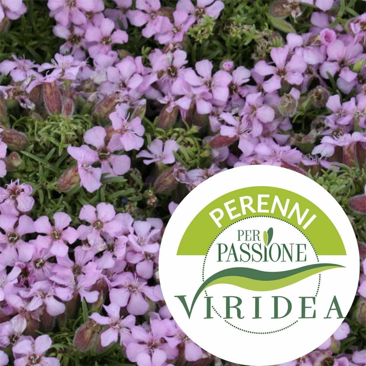 Linea Perenni per Passione – Saponaria in varietà