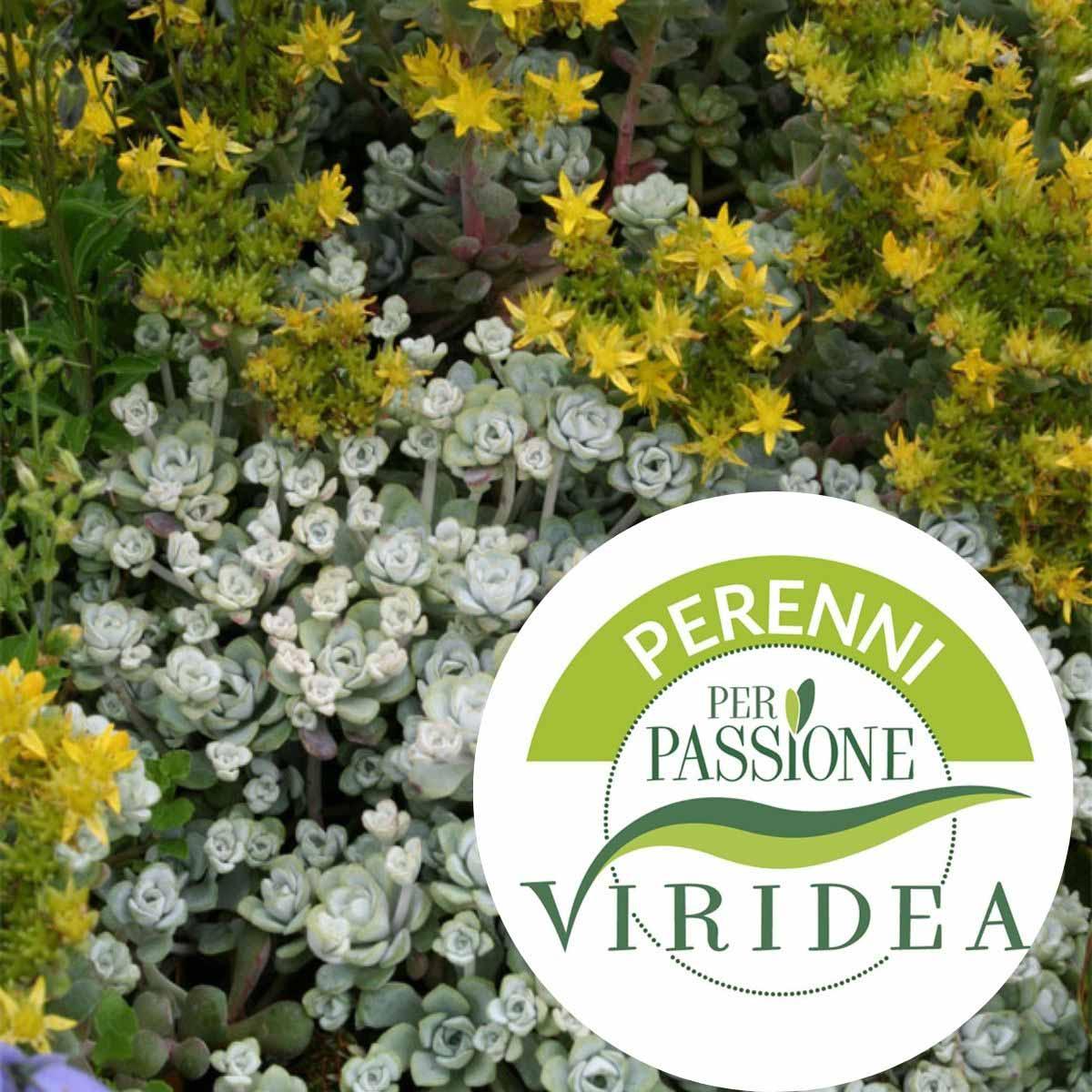 Linea Perenni per Passione – Sedum in varietà