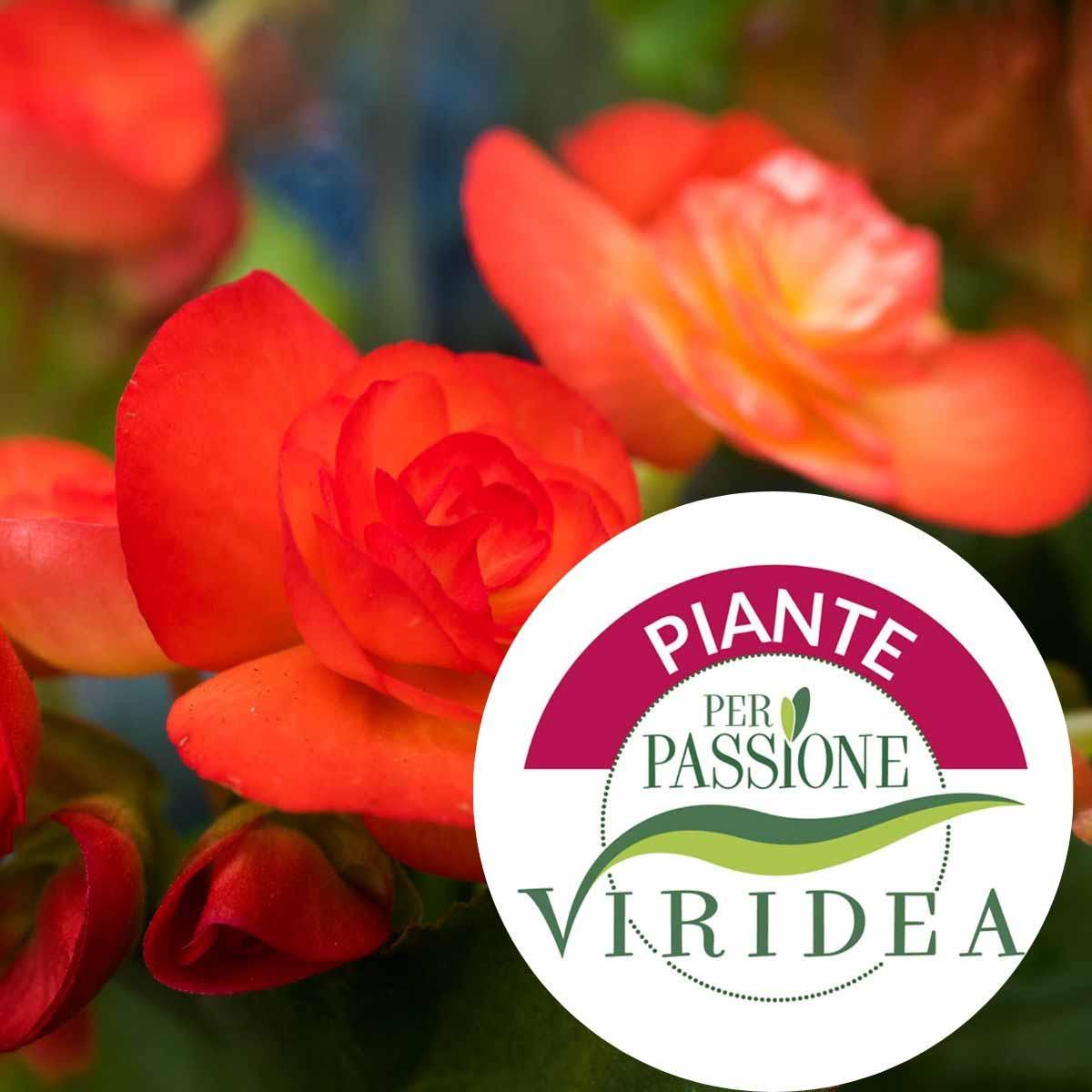 Linea Piante per Passione – Begonia Elatior