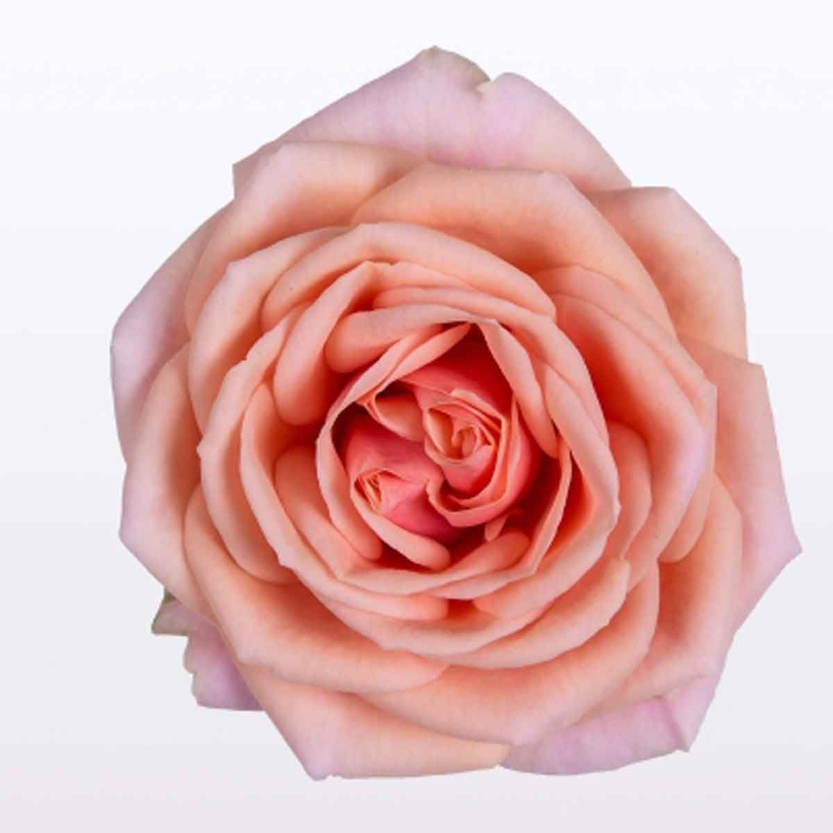 Rosa Victory in varietà