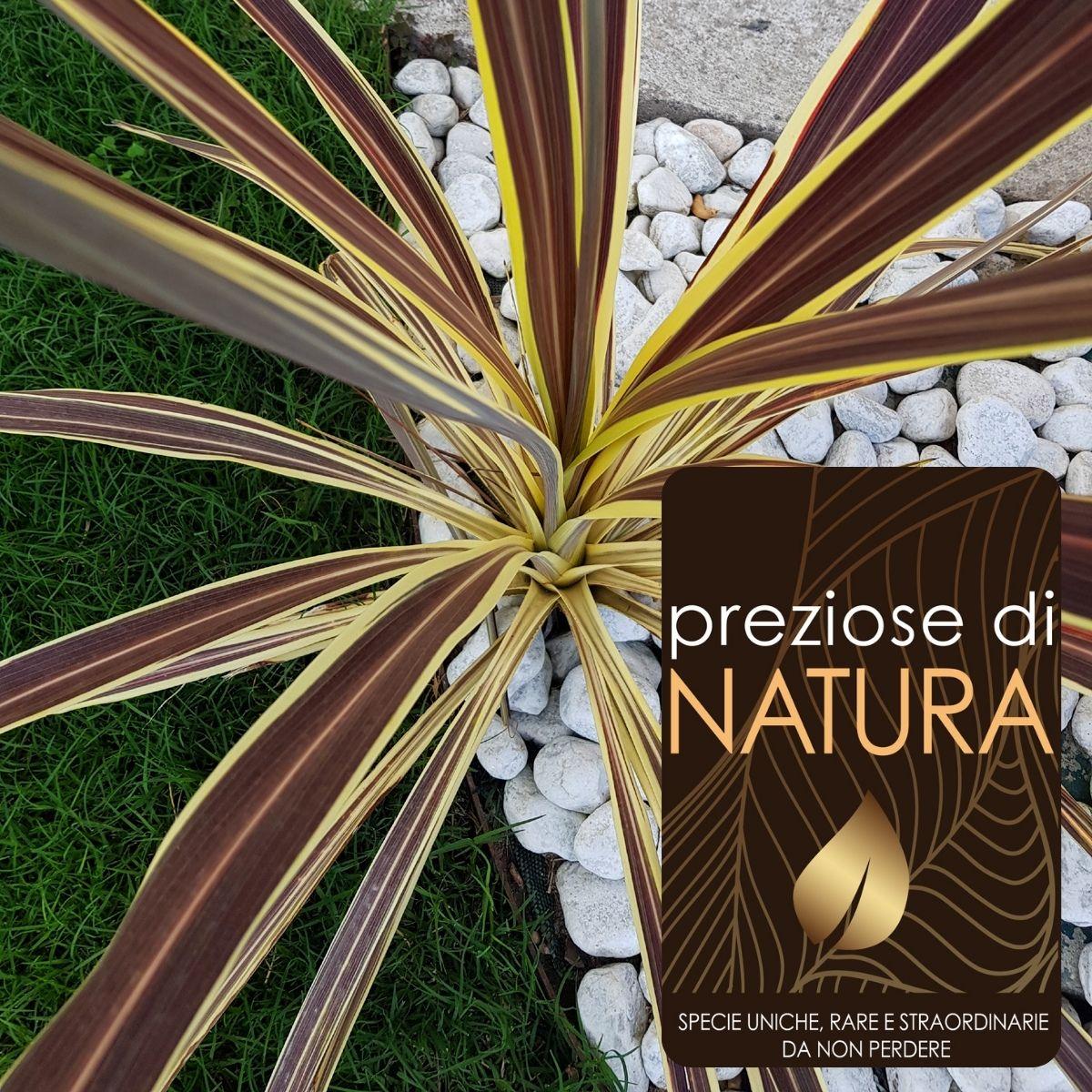 Preziose di Natura – Cordilyne Banksii Elettric Flash