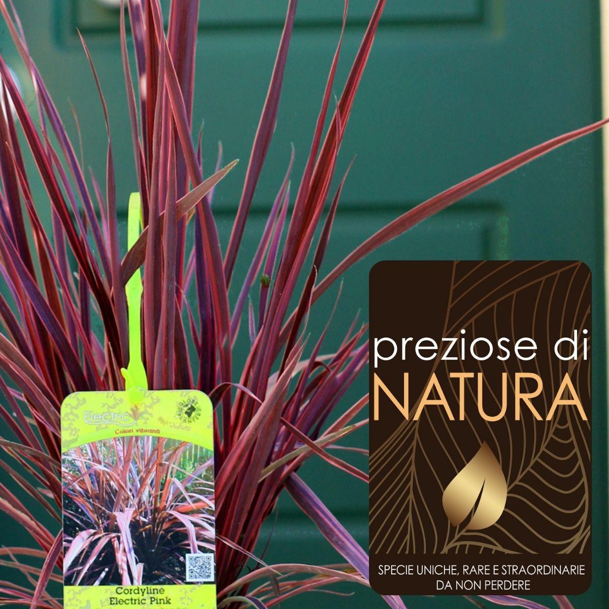 Preziose di Natura – Cordilyne Banksii Electric Pink