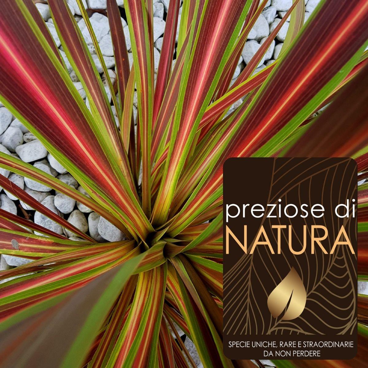 Preziose di Natura – Cordilyne Banksii Elettric Star