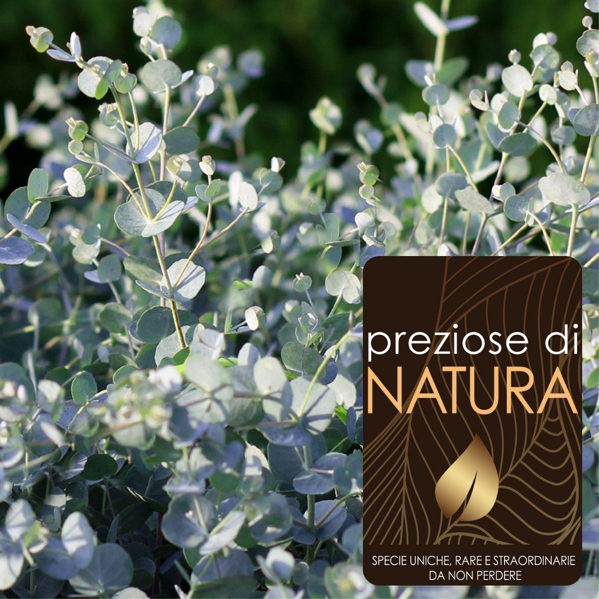 Preziose di Natura – Eucalyptus Azura