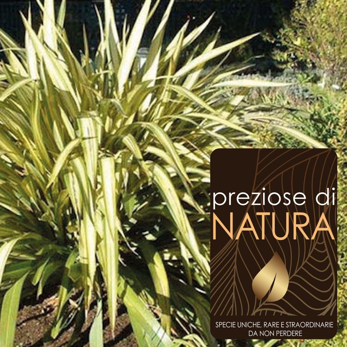 Preziose di Natura – Phormium Wings of Gold