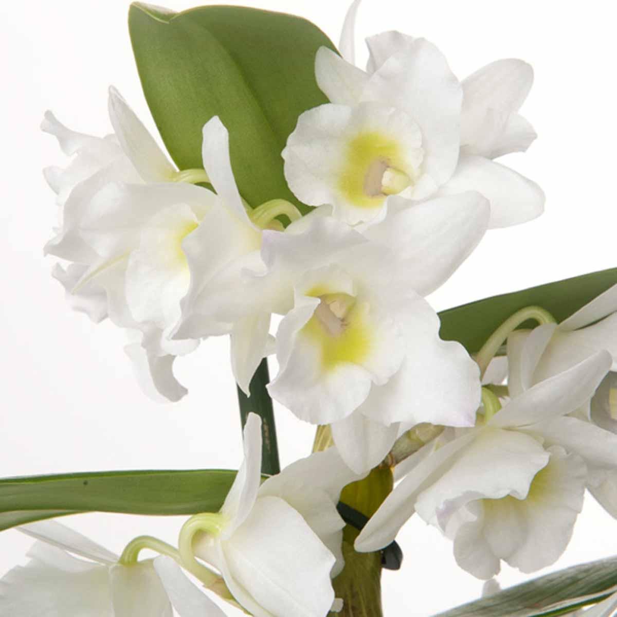 Orchidea Dendrobium Nobile Bianco a 2 rami
