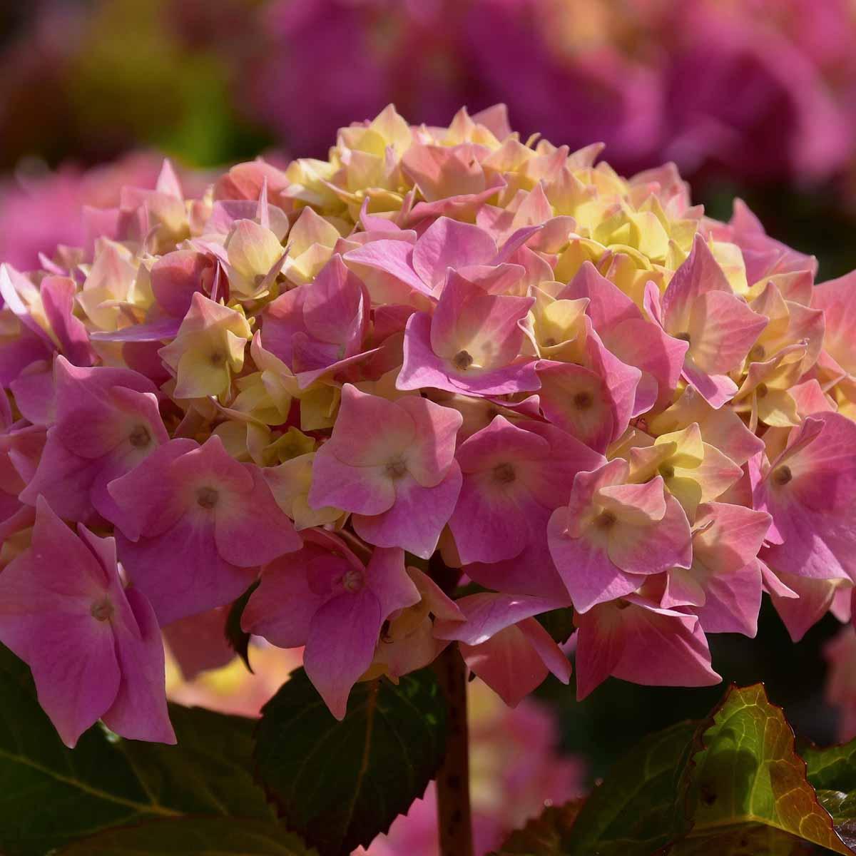 Ortensie da giardino in varietà