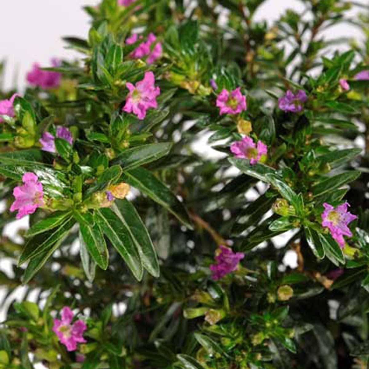Cuphea Hyssoppifolia